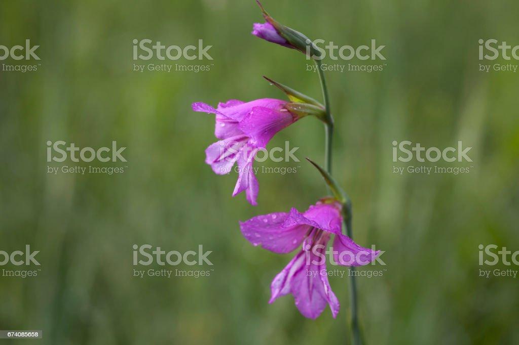 Illyrische Gladiole royalty-free stock photo