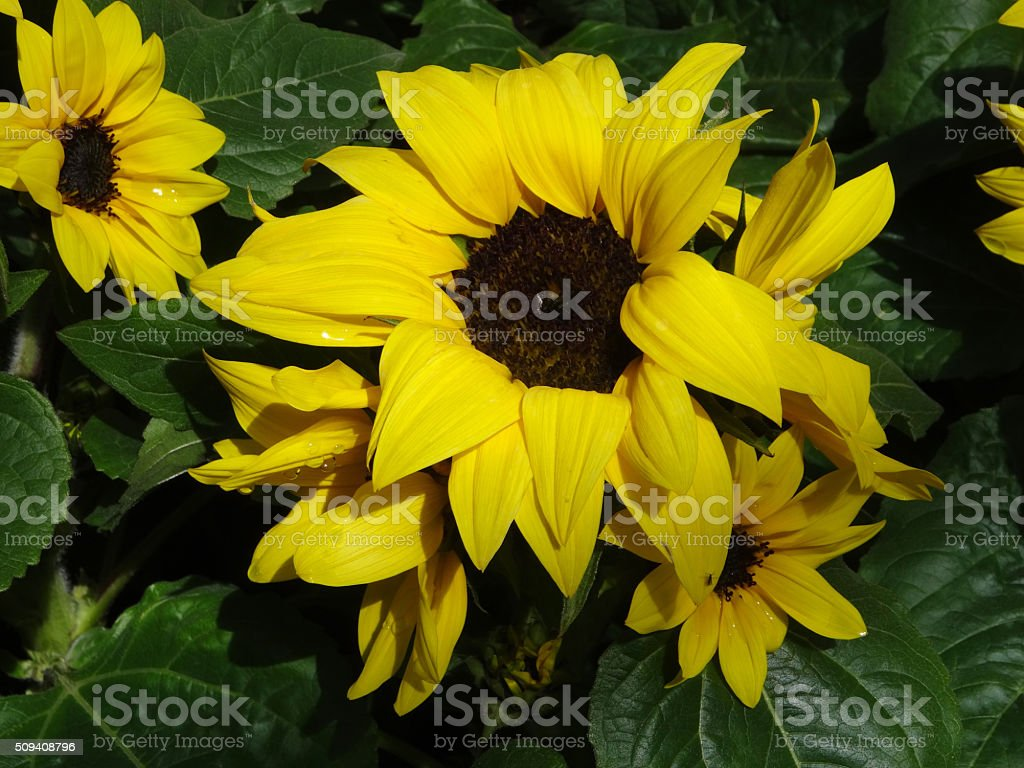 Image display of yellow Helianthus annuus (sunflowers) planted in pots stock photo