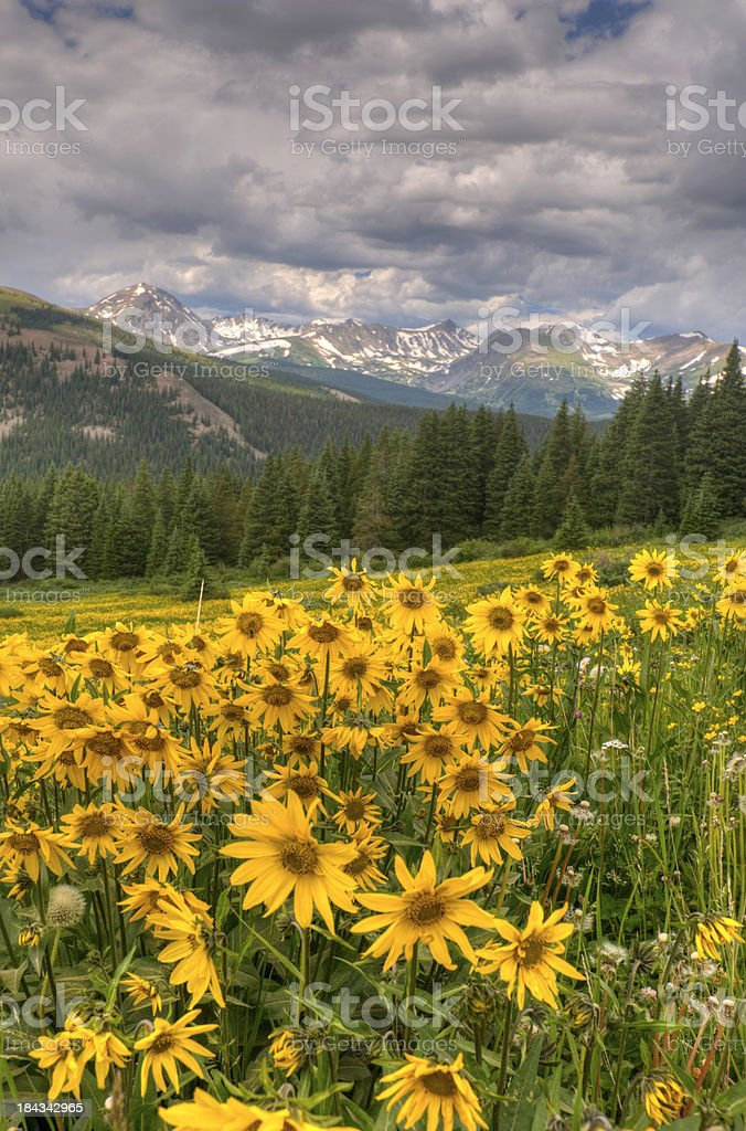 HDR Image Field of Sunflowers in the Rocky Mountains stock photo