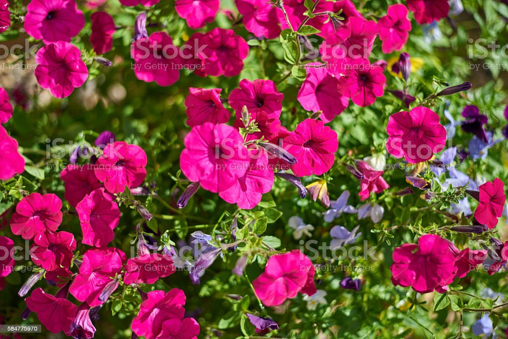 Image full of colourful petunia flowers stock photo