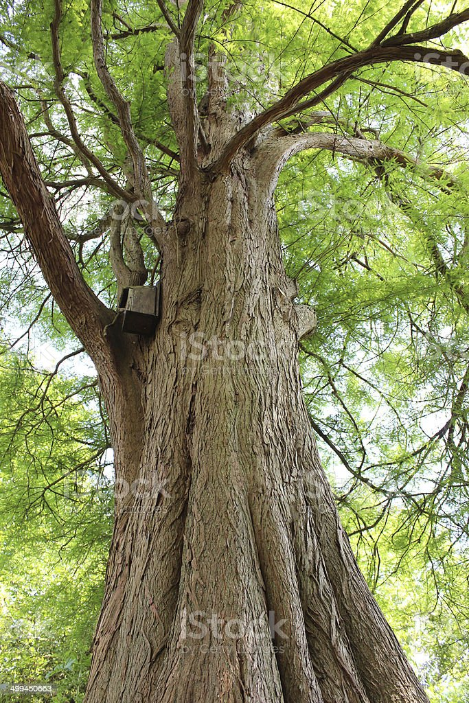 Image looking up trunk of swamp cypress tree (taxodium distichum) stock photo
