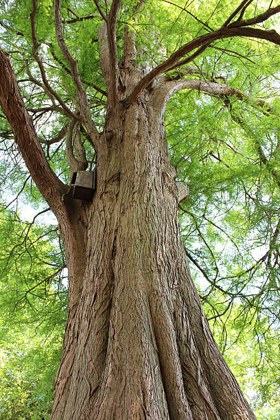 image looking up trunk of swamp cypress tree (taxodium distichum) - bald cypress tree stockfoto's en -beelden