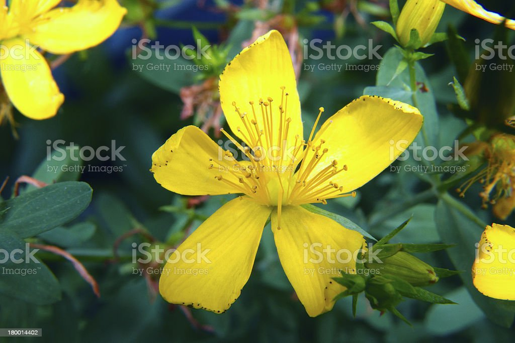 image of a beautiful blooming yellow stock photo