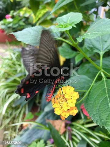 Stock photo of a Swallowtail butterfly (Papilionidae) feeding on nectar from a yellow flower through its proboscis, settled on plant leaves with wings closed