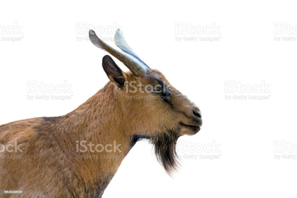 Image of a brown goat on white background. Farm Animals. stock photo
