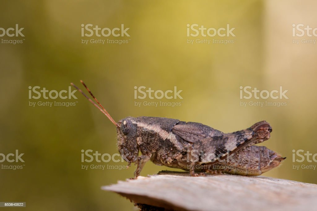 Image of a Brown grasshopper (Acrididae) on natural background. Insect. Animal stock photo