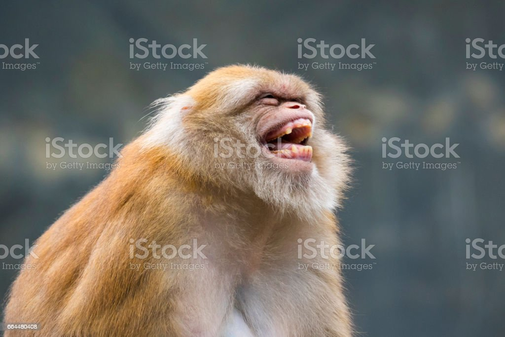 Image of a brown rhesus monkeys on nature background. stock photo