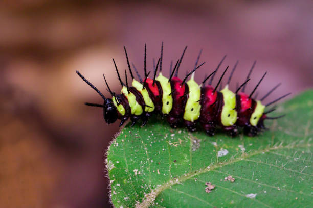 image of a caterpillar bug on green leaves. insect animal - velutina imagens e fotografias de stock