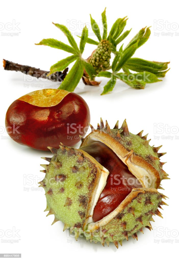 image of a chestnut close up on a white background stock photo
