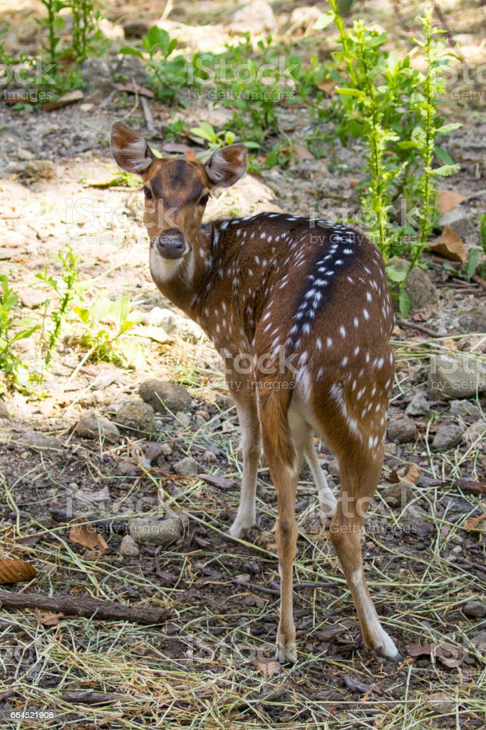 Image of a chital or spotted deer on nature background. wild animals. royalty-free stock photo