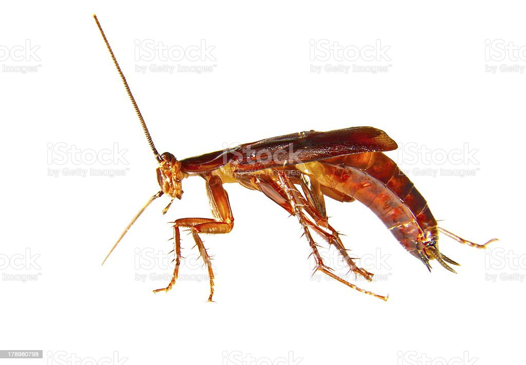 image of a cockroach crawling insect pest royalty-free stock photo
