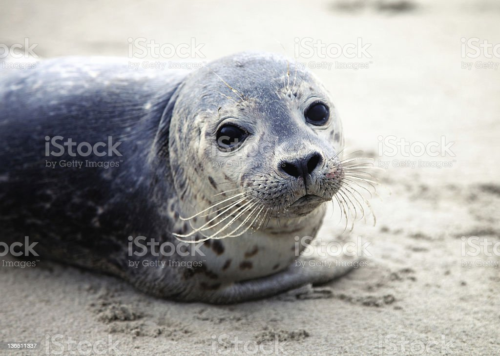 Image of a cute harbor seal on sand stock photo