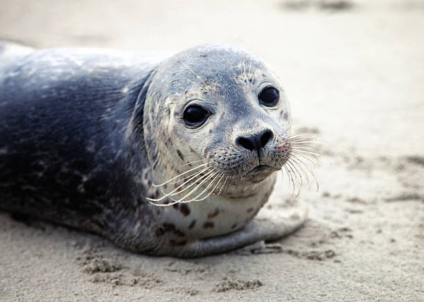 Image of a cute harbor seal on sand lone baby seal on ameland in holland seal pup stock pictures, royalty-free photos & images