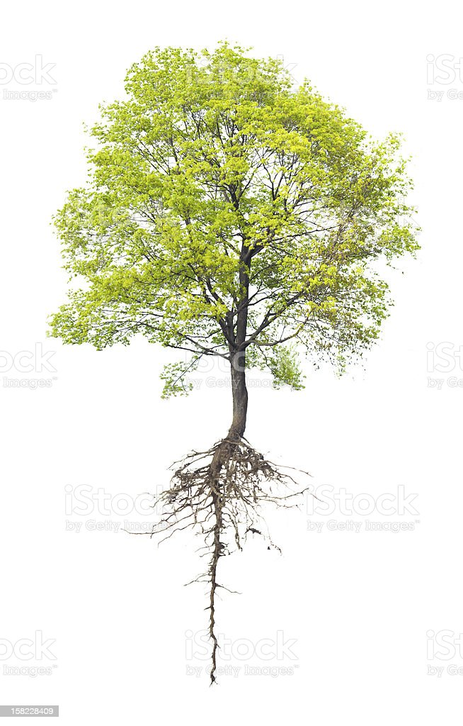 Image of a deciduous tree with a long root stock photo