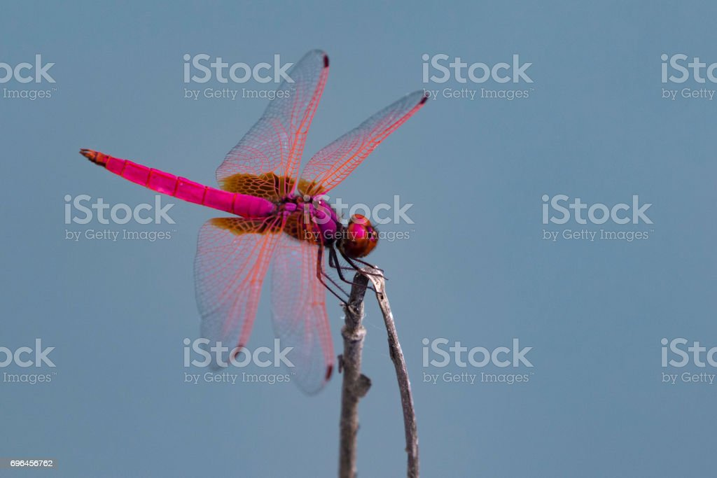 Image of a dragonfly on nature background. Insect Animal stock photo