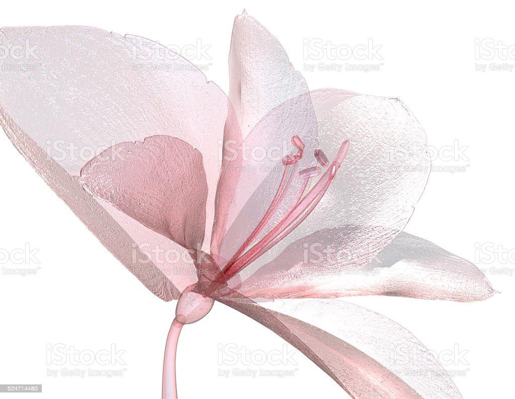 image of a flower isolated on white , the Amaryllis stock photo