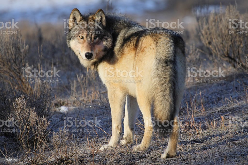 A image of a gray wolf in Yellowstone stock photo