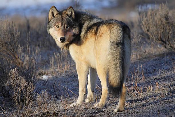 lobo de yellowstone - lobo cinzento imagens e fotografias de stock