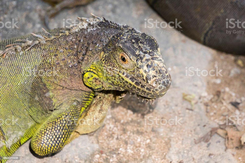 Image of a iguana on nature background. Wild animals. royalty-free stock photo