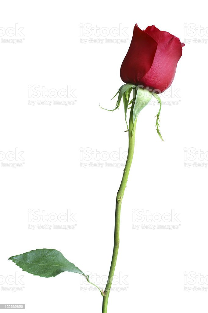 Image of a long stem red rose on white background stock photo