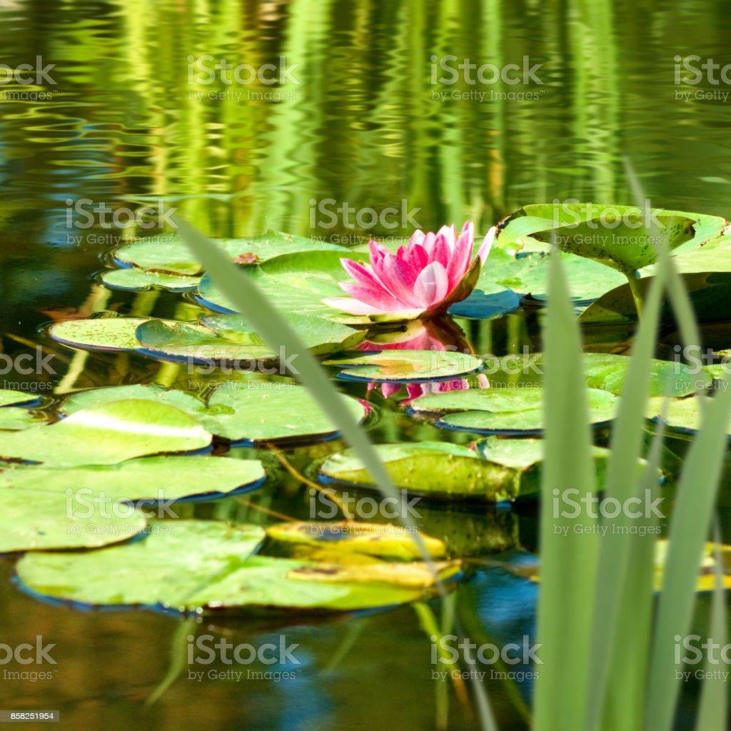 Image Of A Lotus Flower On The Water Closeup Stock Photo More