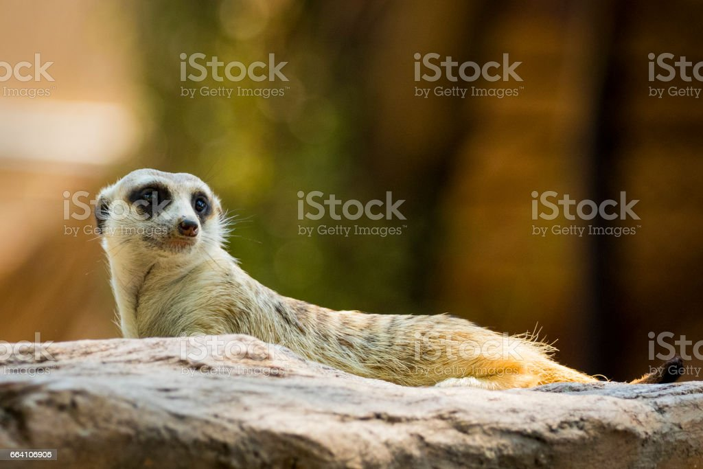 Image of a meerkat or suricate on nature background. Wild Animals. foto stock royalty-free