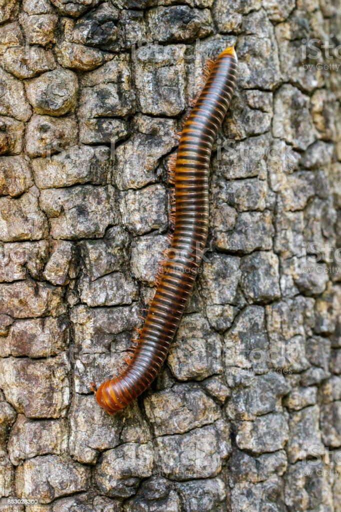 Image of a millipede on tree. Insect. Animal stock photo