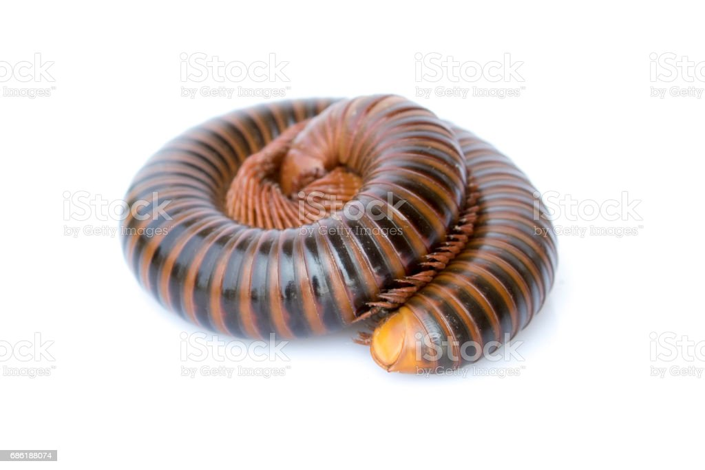 Image of a millipede on white background. Reptile Animal. stock photo