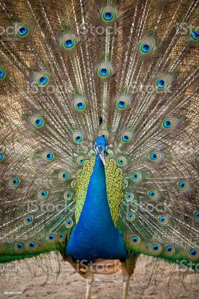 Image of a peacock showing its beautiful feathers. wild animals. foto stock royalty-free