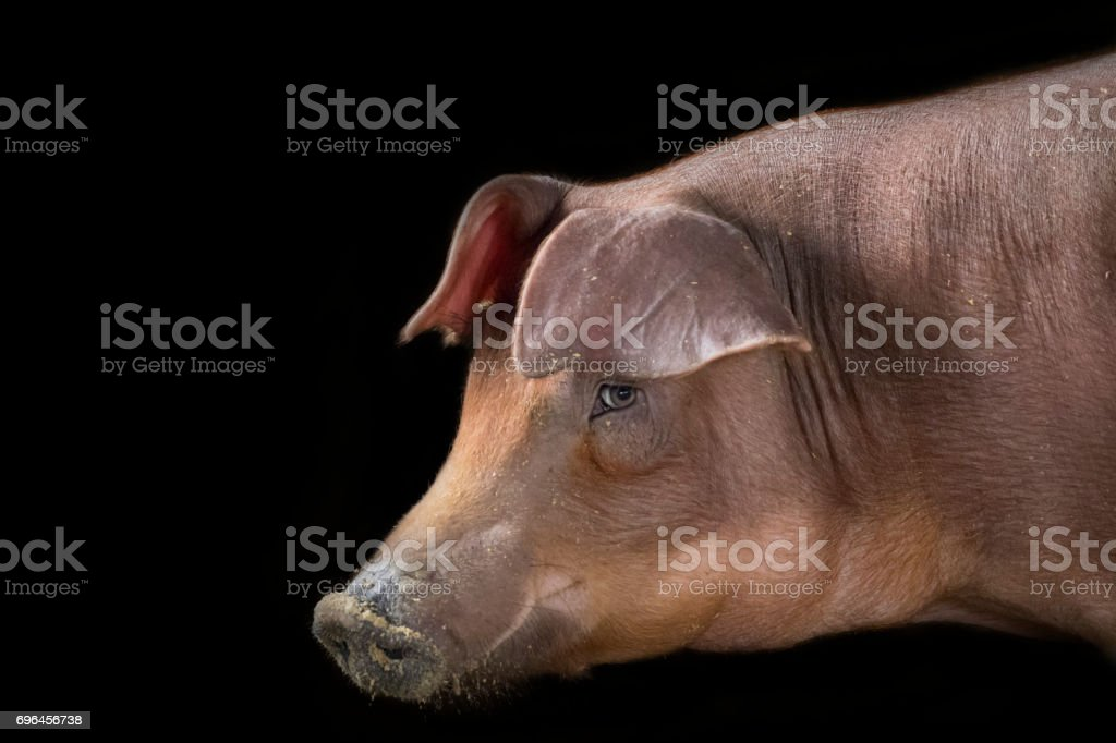 Image of a pig on a black background. Farm Ainmal stock photo