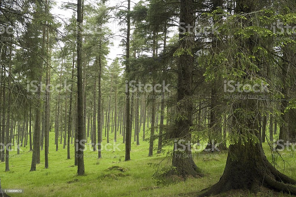 Image of a pine forest with growing green grass royalty-free stock photo