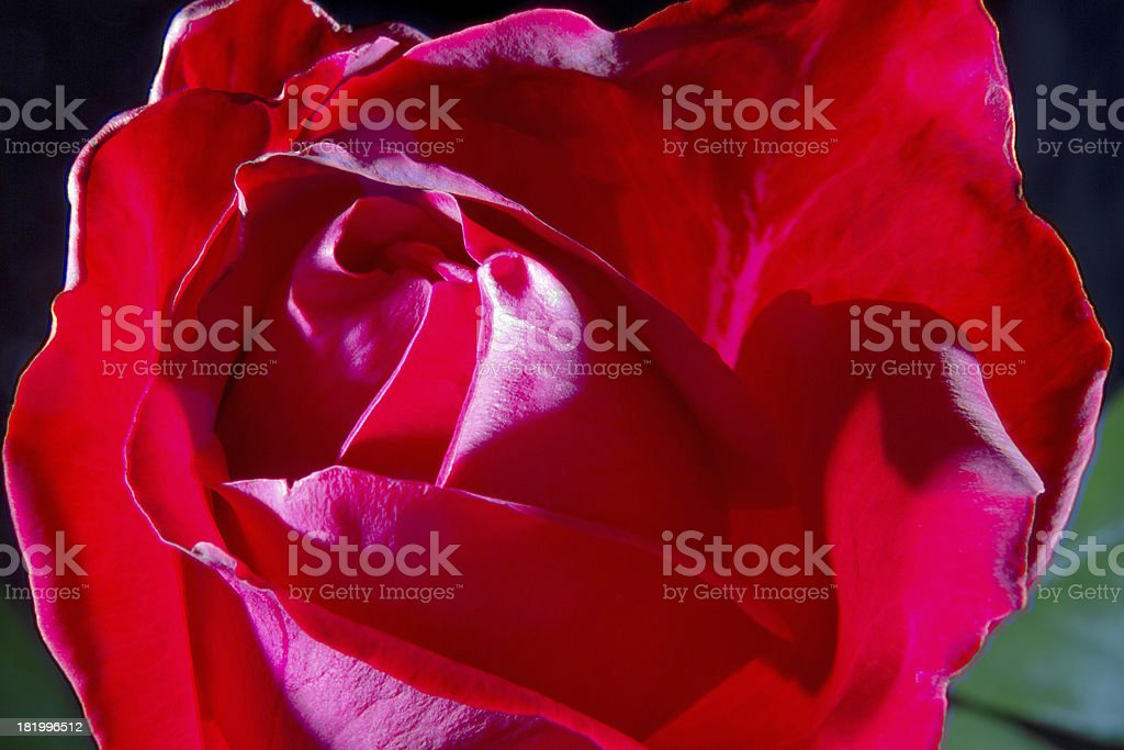 image of a red rose bud close-up stock photo