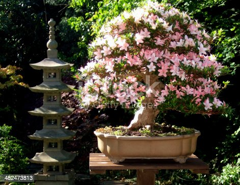 A blossoming bonsai Nikko azalea in a Japanese-style garden with a pagoda in the background