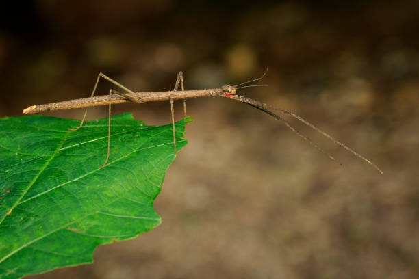 image of a siam giant stick insect on leaves on nature background. insect animal. - delude stock pictures, royalty-free photos & images