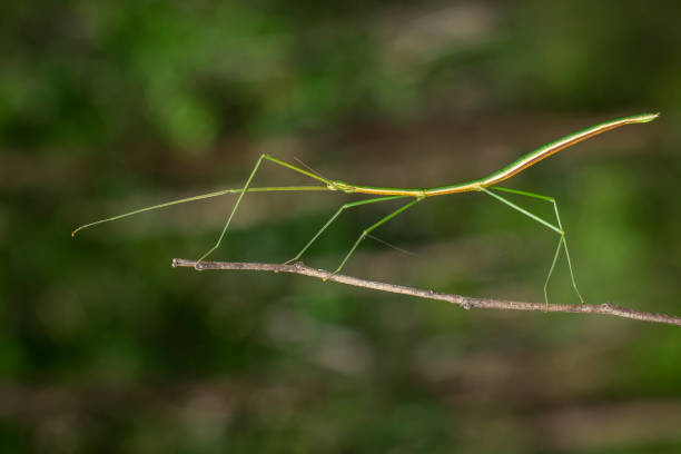 image of a siam giant stick insect on the branch on nature background. insect. animal. - delude stock pictures, royalty-free photos & images