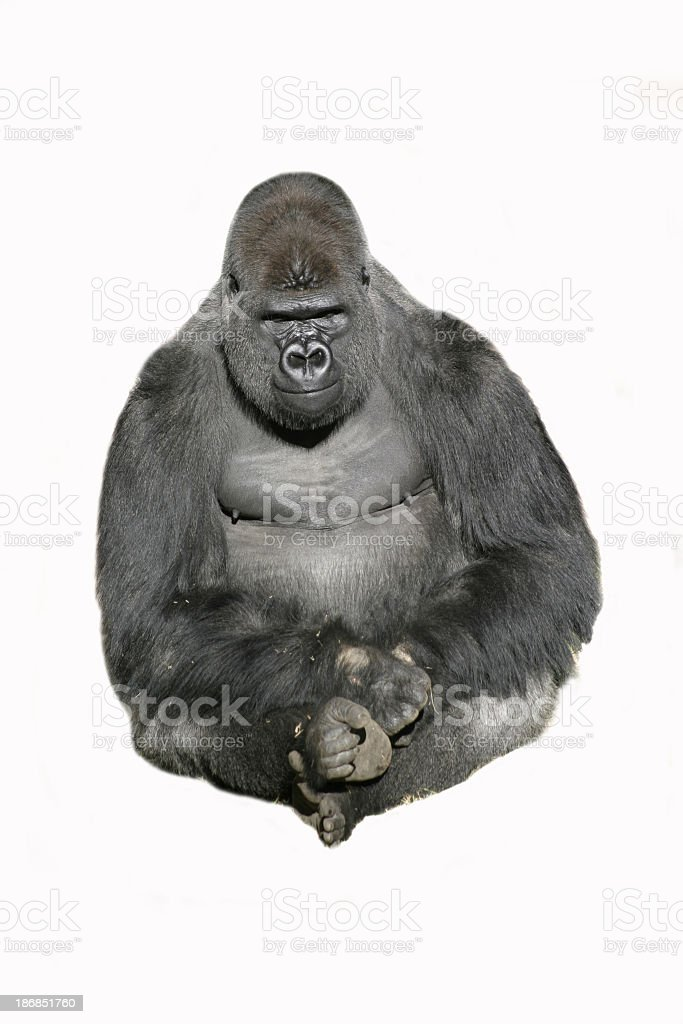 Image of a sitting gorilla against a white background stock photo