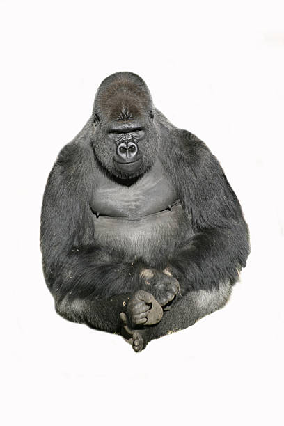 image of a sitting gorilla against a white background - gorilla stock photos and pictures