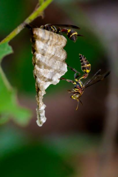 imagem de uma pequena vespa de papel marrom (ropalidia revolutionalis) e o ninho de vespas no fundo da natureza. inseto animal - vespa comum - fotografias e filmes do acervo