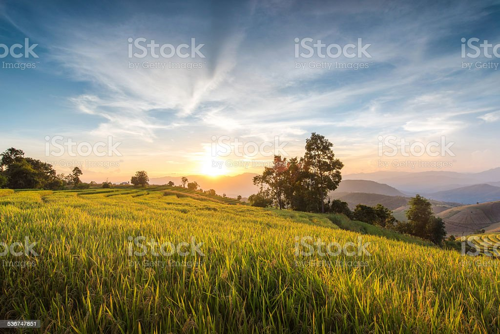 image of a sunset over a golden field stock photo