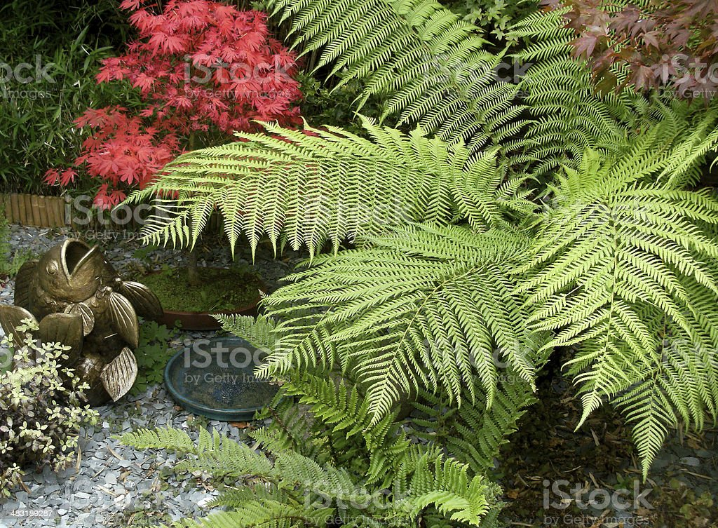 Image of a Tree Fern (Dicksonia) and Japanese maple stock photo
