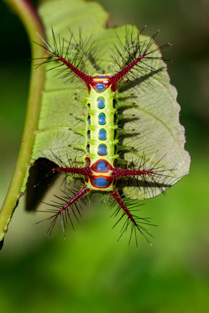 image of a wattle cup caterpillar on nature background. insect animal - velutina imagens e fotografias de stock