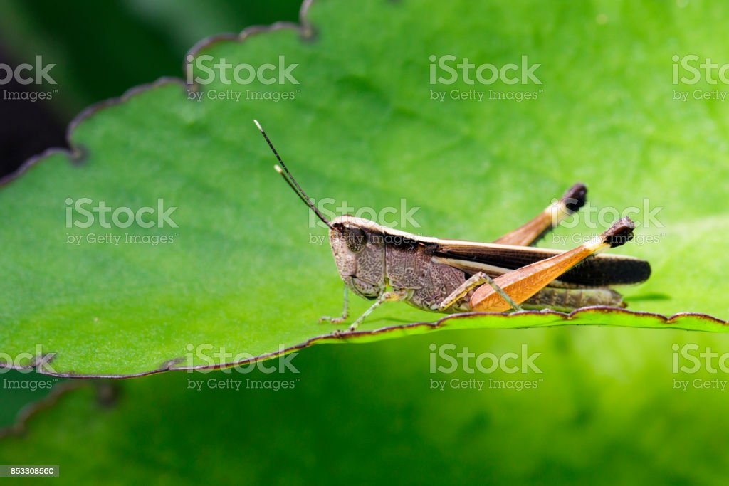 Image of a white-tipped Grasshopper(Phlaeoba antennata) on a green leaf. Insect. Animal stock photo