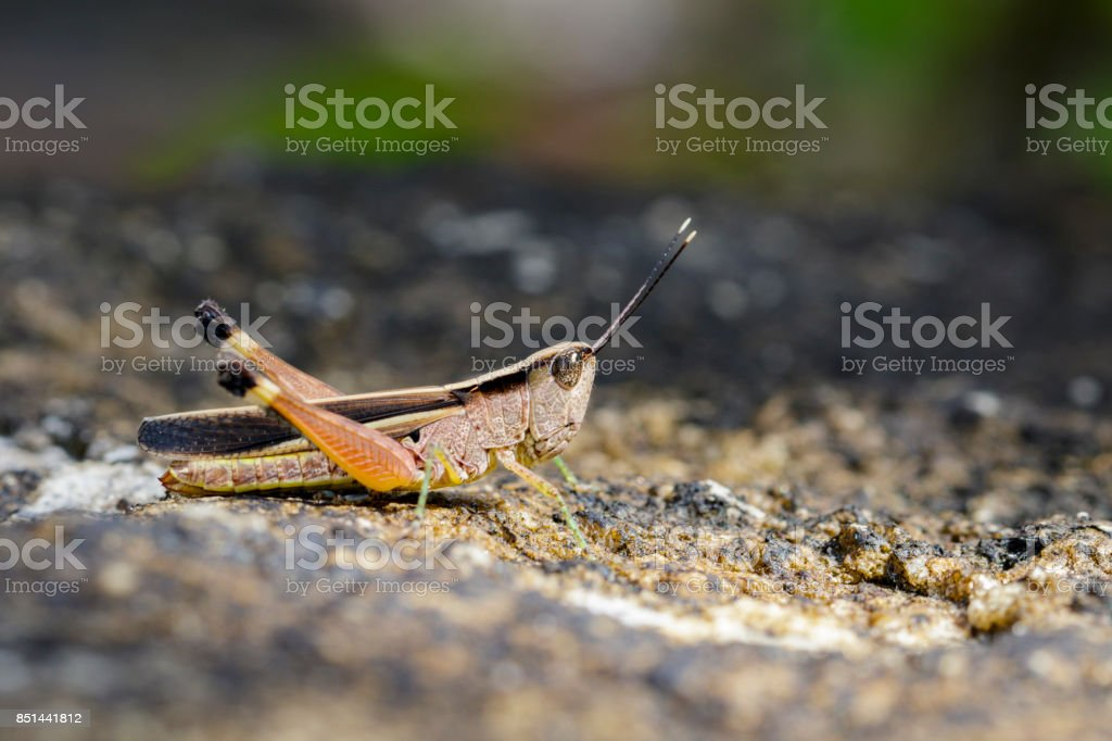 Image of a white-tipped Grasshopper(Phlaeoba antennata) on the floor. Insect. Animal stock photo