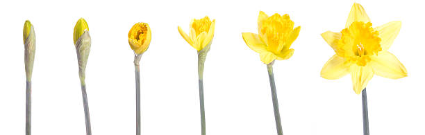 Image of a yellow flower blooming over time stock photo