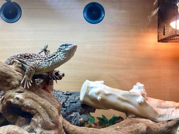 Image of Ackies dwarf monitor lizard (Varanus acanthurus) warming under heat lamp in a vivarium / terrarium stock photo