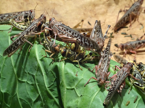 Photo showing a group of African desert locusts (Schistocerca gregaria), which are pictured eating a green cabbage leaf.