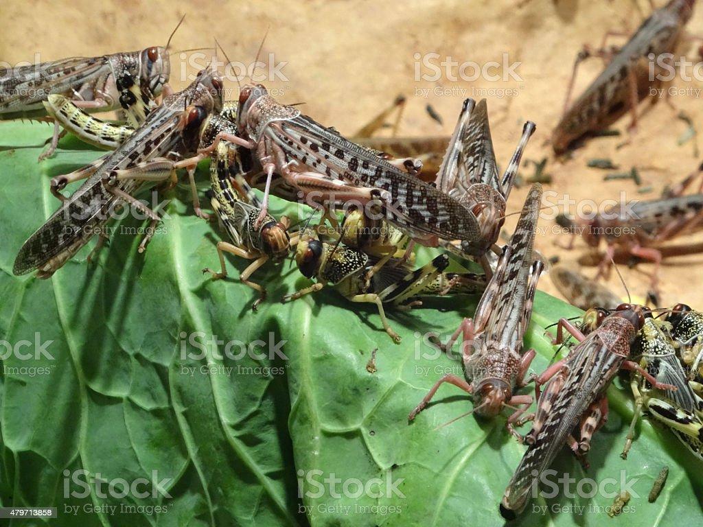 Image of African desert locusts (Schistocerca gregaria) eating cabbage leaf stock photo