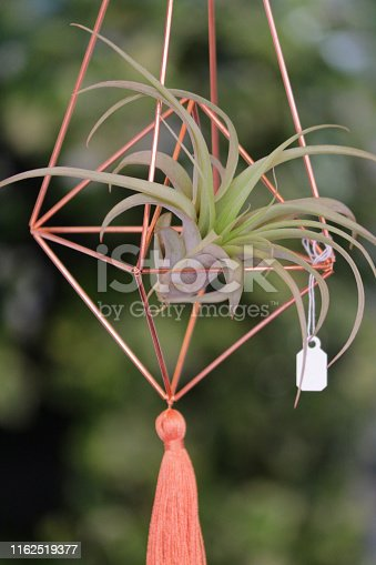 Stock Photo of air plant houseplant in stylish metal copper planter flower pot growing without soil and roots in hanging basket like modern terrarium, Tillandsia Ionantha species of air plants needing misting, isolated against blurred green garden background