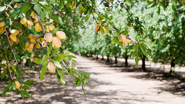image of almond nut trees in an orchard - almond stock photos and pictures