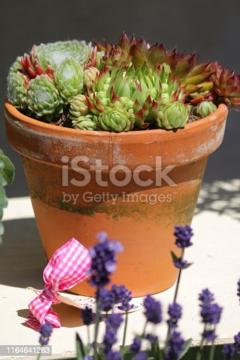 Stock photo of hardy evergreen perennial succulents species of Alpine plants rosettes with sempervivums growing in terracotta flower pot in rockery garden, baby houseleeks / flowering sempervivum collection growing for mat-forming ground cover to prevent weeds